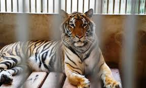 Truck Carrying 8 Endangered Tigers To A Circus Crashes | | PETA