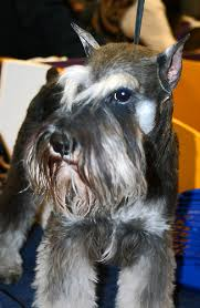 Do Giant Schnauzer Dogs Shed Hair by Hypoallergenic Dogs List The Best Dog Breeds For People With