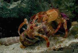 Do Hermit Crabs Shed Their Body by Cannibalistic Hermit Crabs Salivate At The Smell Of Their Dead