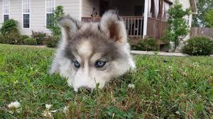 Do Samoyed Huskies Shed by Siberian Husky Puppy For Sale Siberian Husky Pinterest