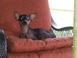 Do Miniature Pinschers Shed by Nashville Tn Miniature Pinscher Meet Ebony A Dog For Adoption