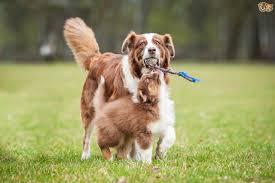 Small Non Shedding Dogs Australia by Australian Shepherd Dog Breed Information Buying Advice Photos