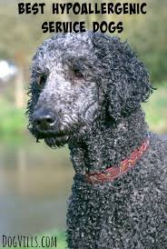 Hypoallergenic Shed Free Dogs by 17 Best Images About Shed Free Dogs On Pinterest Allergies