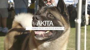 Do Akitas Shed Bad by Akita Five Things You Should Know Youtube