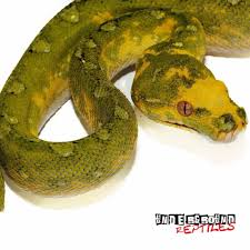 Ball Python Bedding by Green Tree Pythons For Sale Underground Reptiles
