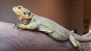 Bearded Dragon Heat Lamp Times by Bearded Dragon Behaviour Pogopogona