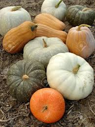 Varieties Of Pumpkins by Some Ripen Pumpkins Of Different Varieties On The Ground Stock