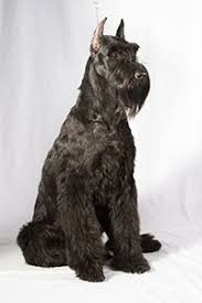 Do Wheaten Terrier Dogs Shed by Dog Breeds That Don U0027t Shed American Kennel Club American