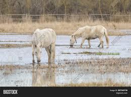 100 Ampurdan Horses Camargue Image Photo Free Trial Bigstock