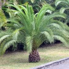 palmier des canaries canariensis moneden