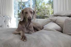 Do Long Haired Weimaraners Shed by Weimaraner Dog Breed Information And Photos