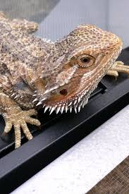 Bearded Dragon Heat Lamp Amazon by 130 Best Bearded Dragon Images On Pinterest Reptile Enclosure