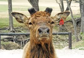 Does Deer Shed Their Antlers antlers vs horns u2013 fossil rim wildlife center