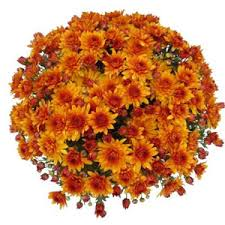 orange mums can buy these at lowes homedepot and drop in the