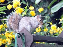 squirrels how to get rid of squirrels in the garden the