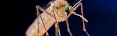 mücken und was gegen sie tun kann spektrum der