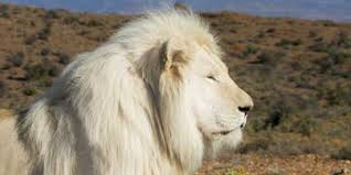 White Lion At Sanbona