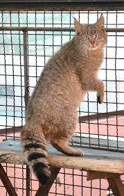 mountain cat mountain cat