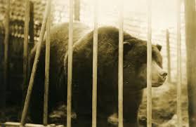 The Sad Saga Of Bear Said To Be Depicted On Californias State Flag