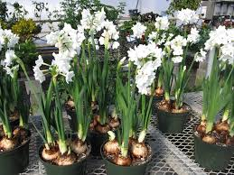 how to plant paperwhite bulbs both indoors and outdoors