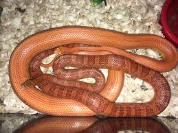 Corn Snake Shedding Time by Breeding Pair Corn Snake By Dj U0027s Reptile Hut Morphmarket Usa