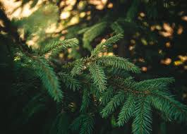 Types Christmas Trees Most Fragrant by Ask An Expert Christmas Tree Selection And Care U2013 Live Well Utah