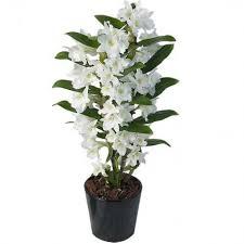 orchidée dendrobium qualité supérieure longue durée et peu d
