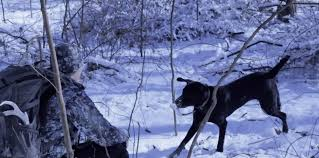 Blue Heeler Lab Mix Shedding by Training My Dog To Shed Hunt U2013 Tips And Strategies For Training A