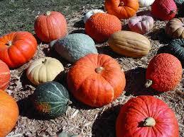 Varieties Of Pumpkins by Swift U0027s Pumpkins U0027fun Day U0027 Was A Great Success
