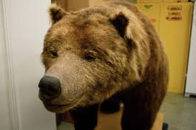 Originally A Native Of The Ventura Mountains Monarch Bear Lived For 22 Years In
