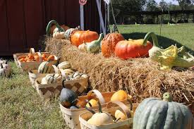 Patterson Pumpkin Patch Nc by Pumpkin Patches In Charlotte Pick Your Own Pumpkins In Charlotte