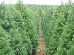 Christmas Tree Seedlings by Live Native Christmas Trees A New Way To Celebrate The Holidays