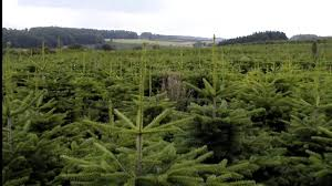 Nordmann Fir Christmas Trees Wholesale by Christmas Tree Species Nordmann Fir Youtube