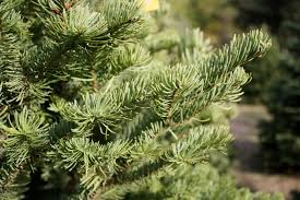 Silvertip Fir Christmas Tree by Christmas Tree The Foodinista