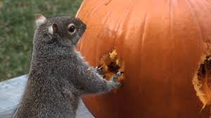 Funny Pumpkin Carvings Youtube by Squirrels Carve Face In Pumpkin Youtube