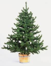 Christmas Tree Sapling Care by Using A Living Christmas Tree With The Intention To Replant