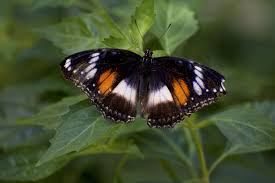 100 Butterfly House Melbourne Eggfly Basking A Common Eggfly Basks In The Sun In The