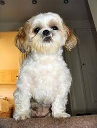 Non Shedding Dog Breeds Small by Yorkie Problems Dogs Pinterest Terriers Yorkie And Yorkshire