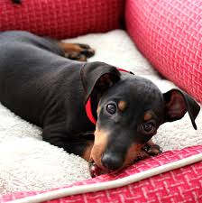 do miniature pinscher mix shed manchester terrier breed information pictures