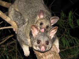 8 Best Possums And Tree Huger's Images On Pinterest | Baby Animals ... All About Opossums Wildlife Rescue And Rehabilitation Easy Ways To Get Rid Of Possums Wikihow Animals Articles Gardening Know How 4 Deter From Your Garden Possum Hashtag On Twitter Removal Living In Sydney Opossum Removal Services South Florida Nebraska Rehab Inc Help Nuisance Repel Gel Barrier Sealant For Squirrels And Raccoons To Of Terminix