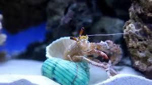 Do Hermit Crabs Shed Their Whole Body by Hermit Crab Molting Over 4 Days With Music Youtube