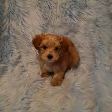 Non Shedding Dogs Family Friendly by Available Puppies Little Happy Tails Toy Sized Family Friendly