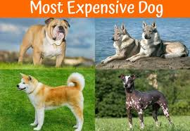 Large Dogs That Dont Shed Fur by A Review Of The Best 70 Hypoallergenic Dogs That Don U0027t Shed Small