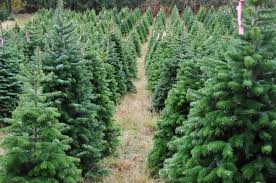 Christmas Tree Seedlings by Garden Plot Christmas Lavender Trees And Plant Thoughts Wtop