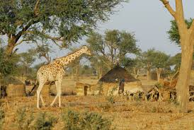 West African Giraffe In Local Village Considered Endangered Photo Courtesy Of Julian Fennessy