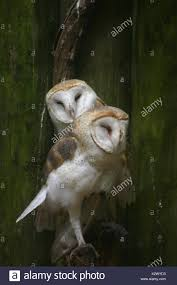 Barn Owls Stock Photos & Barn Owls Stock Images - Alamy Watch The Secret To Why Barn Owls Dont Lose Their Hearing 162 Best Owls Images On Pinterest Barn And Children Stock Photos Images Alamy Owl 10 Fascating Facts About Species List Az 210 Birds Drawing Photographs Of Cave By Tyler Yupangco 312 Beautiful Birds