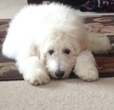 Great Pyrenees Excessive Shedding pyredoodle great pyrenees poodle cross dogs misc