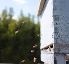 Beekeeping Like A Girl LANGSTROTH VS. TOP BAR HIVE Kenya Bkeeping Moving Top Bar Hives And Other Minor Disasters Youtube Like A Girl Langstroth Vs Top Bar Hive Talking With Bees Nice Now My Bees Have Mice Honey Bee Suite Original Backyardhive Passage Bars Building Our Ipdence Homestead The Best Hive Wild Bunch