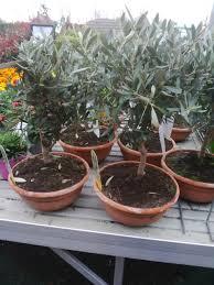 comment entretenir un olivier en pot
