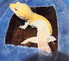 Crested Gecko Shed Stuck On Eye by My Gecko Didn U0027t Shed Properly Hubpages